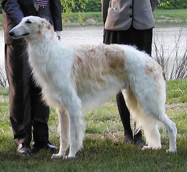 Borzoi Club of Ontario 2003 Best in Sweeps